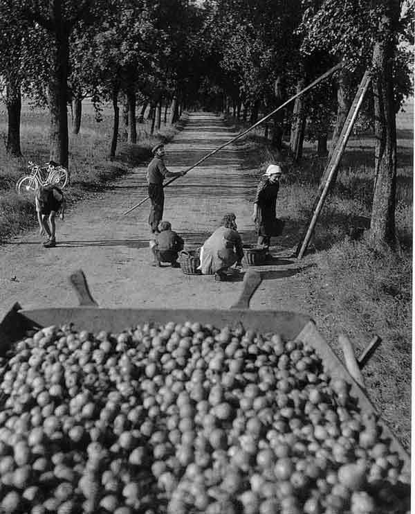 Doisneau-Cueillette-de-pommes-1945